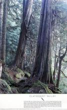 Clayoquot Valley Red Cedars Poster, Gerrit Sommers