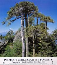 Cani Forest in Chile Poster, Daniel Dancer