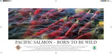 Pacific Salmon - Born to be Wild Poster, Jeremy Sean Williams